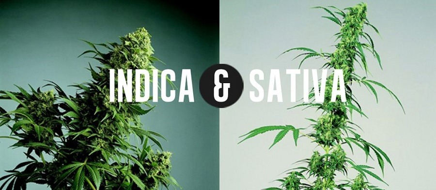 indica vs sativa cannabis strains