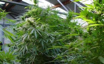 sativa vs indica marijuana strains