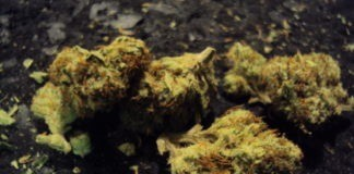 sour Tsunami cannabis strain